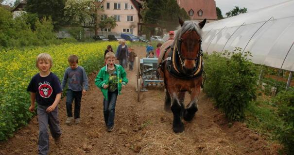 In vollem Geschirr: Wallach Fritz wird auf dem Dottenfelderhof überall dort gebraucht, wo Maschinen nicht hinkommen.