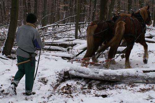Im Schongang durch den Wald: Ralf Zauner mit seinen beiden Kaltblütern beim Holzrücken im Florstädter Forst oberhalb des Sportplatzes. (Foto: Lutz)